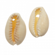 Cowrie Shell Beads (20 - 23 mm) Seashell (25 Gram / Approx. 16 pcs)