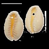 Kauri Shell Beads (20 - 23 mm) Seashell (25 Gram / Approx. 16 pcs)