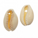 Kauri Shell Beads (15 - 20 mm) Seashell (25 Gram / Approx. 36 pcs)