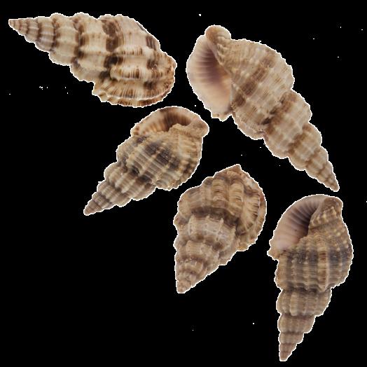 Shell Beads (14 - 40 mm) 24 pcs